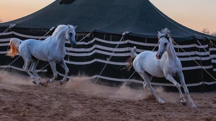 عربی اصیل گھوڑوں کی رنگا رنگ تصاویر کو امر کرنے والے سعودی فوٹو گرافر سے ملیے