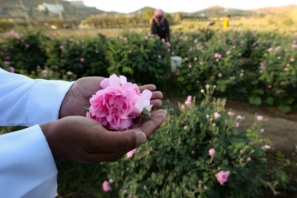 A worker at the Bin Salman farm hold a Damascena (Damask) rose in his hand, used to produce rose water and oil, in the western Saudi city of Taif, on April 11, 2021. (AFP)