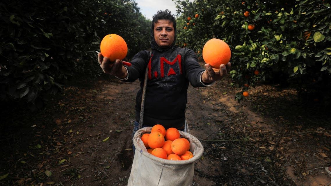 A farmer shows oranges harvested at a farm in El Nobaria, northeast of Cairo, Egypt December 23, 2020. Picture taken December 23, 2020. (File photo: Reuters)