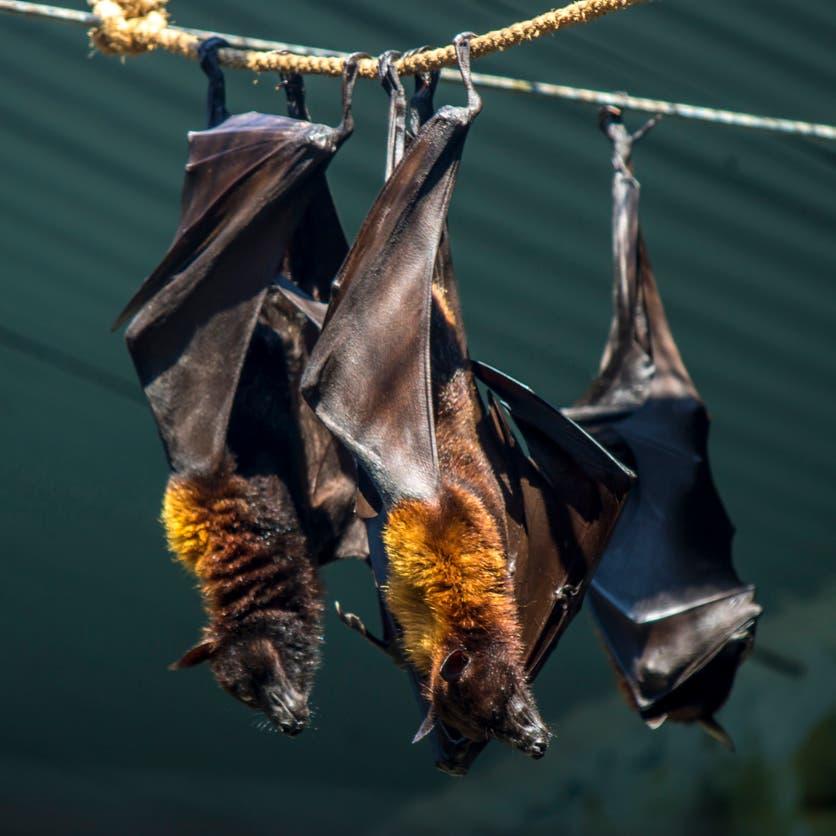 خطر يهدد.. نوع جديد من كورونا يظهر على خفافيش بريطانيا