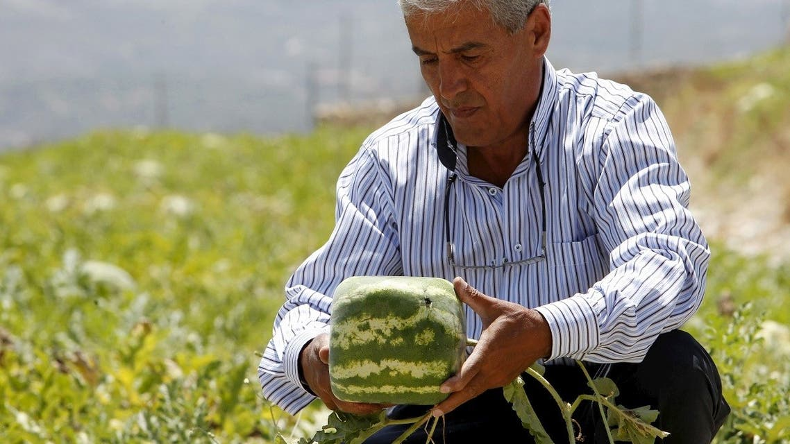 Agriculturist George Haddad holds a square-shaped watermelon that he grows in an agriculture field in Ain al-Mir village, southern Lebanon. (File Photo: AP)