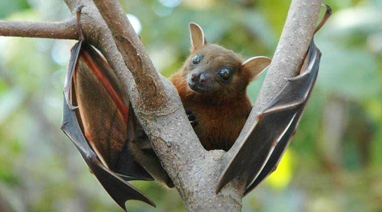 الخفاش أحد أبرز مصادر انتقال فيروس نيباه
