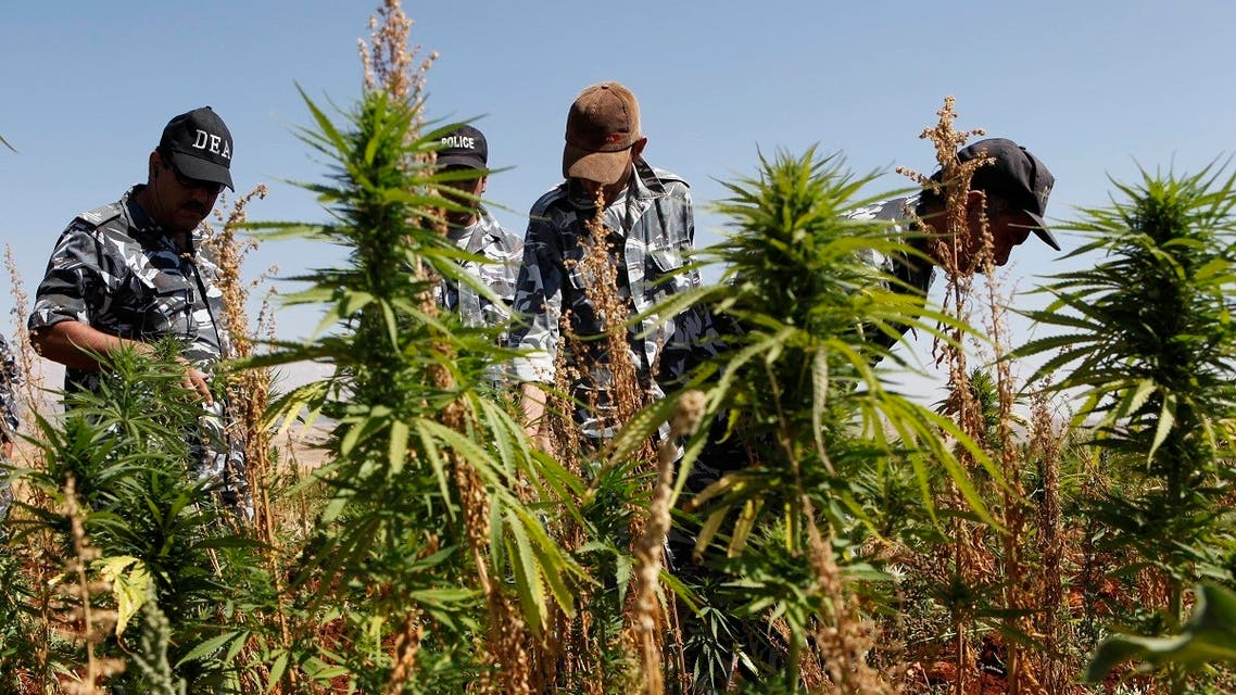 Lebanese policemen from the anti-drugs unit, remove thousands of square meters of cannabis plants, in the village of Bouday, at the eastern Bekaa Valley near the ancient city of Baalbek. (AP)