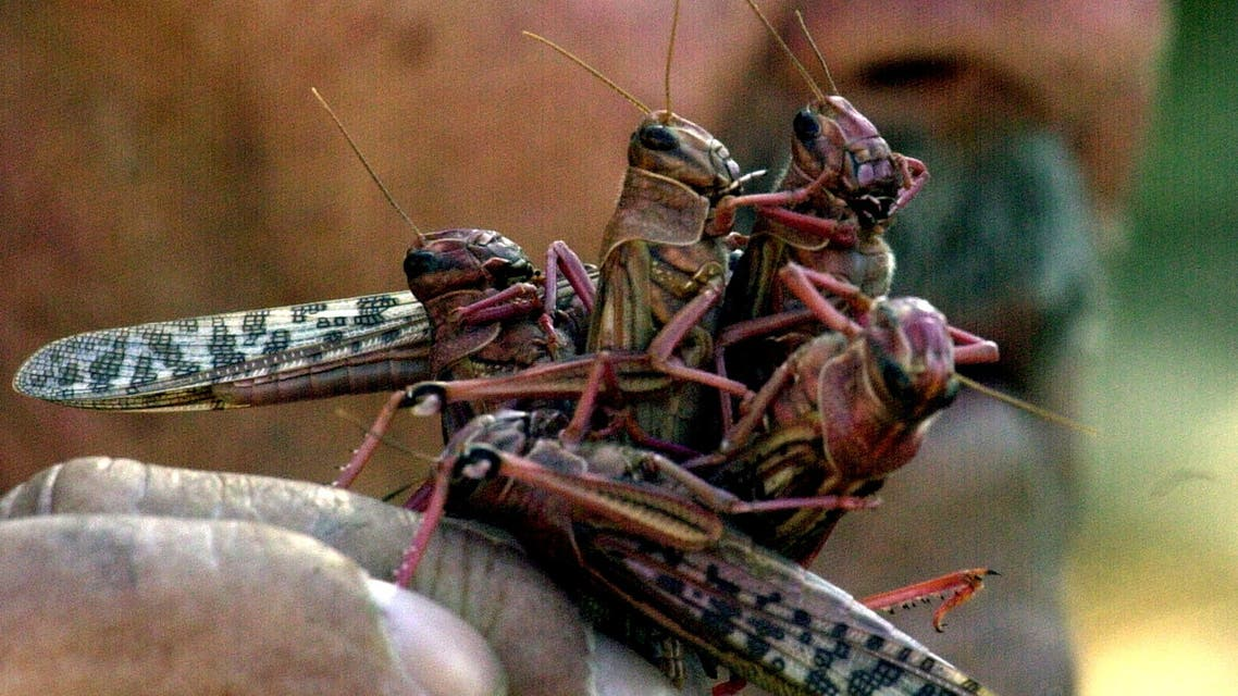A farmer holds up a handful of locusts that descended on a field in Byblos, north of Beirut, November 2, 2004. (File photo: Reuters)