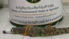 سعودی عرب: القصیم میں آبادی میں داخل ہونے والے مگرمچھ کو پکڑ لیا گیا