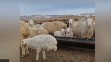 نادر ونایاب: صرف اگلی دو ٹانگوں پر چلنے والی بھیڑ کی وڈیو