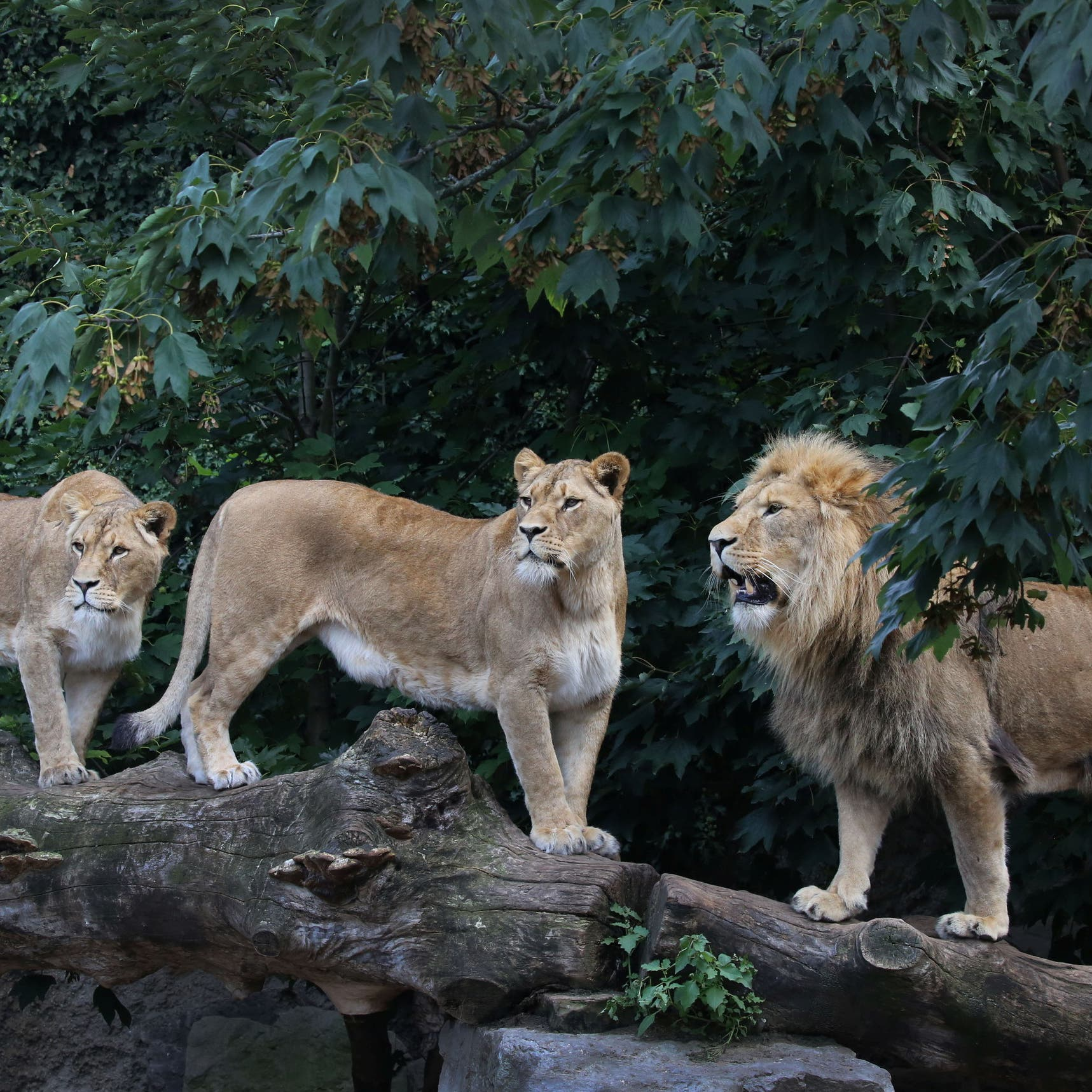 Eight lions test positive for COVID-19 in Indian zoo