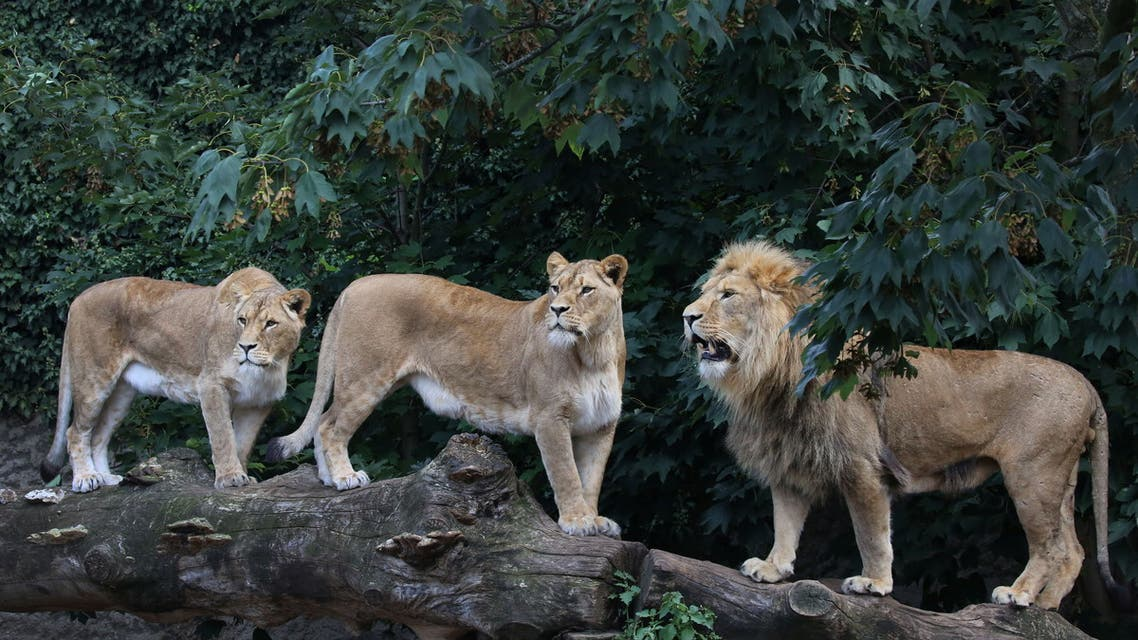 Lions are seen in their counpound at the Artis Amsterdam Royal Zoo in Amsterdam, Netherlands in this handout photo released to media on January 28, 2021. Picture taken September 7, 2020. (Reuters)