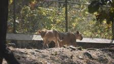 بھارت میں انسانوں کے بعد کرونا جانوروں میں بھی داخل ، 8 شیر متاثر