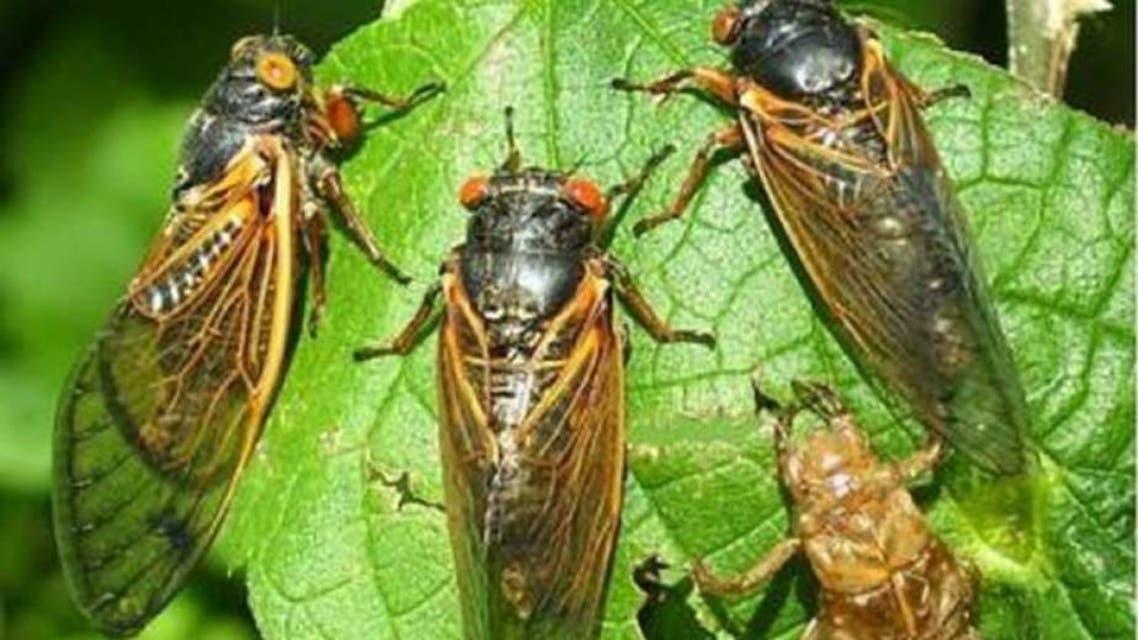 حشرات الزيز