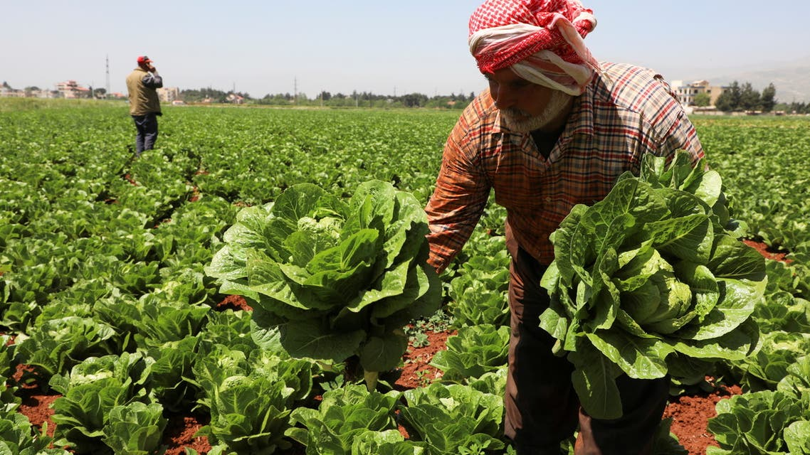 A farmer holds lettuce as he stands in a lettuce field in Rayak, Bekaa Valley, Lebanon, May 10, 2021. Picture taken May 10, 2021. (Reuters)