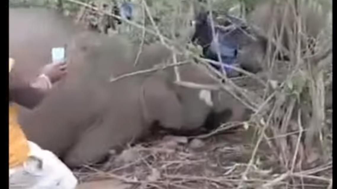 فيل نافق