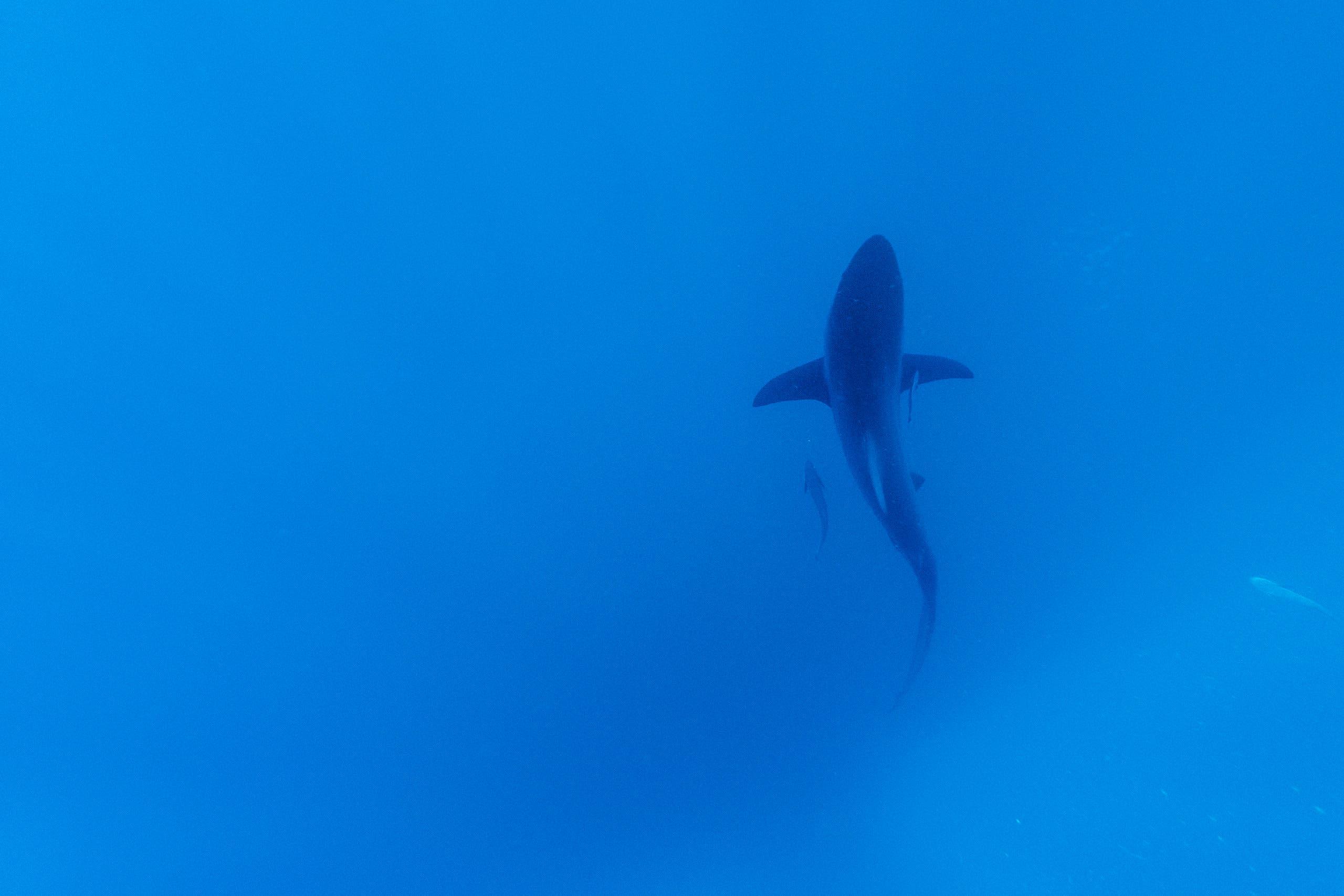سمكة قرش قبالة جنوب أفريقيا
