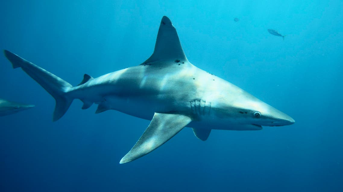 Sandbar sharks swim around during a cageless shark dive tour in Haleiwa, Hawaii February 16, 2015. Shark tours are a renowned form of eco-tourism in Hawaii and diving with sharks without a cage is becoming increasingly popular as well. Picture taken February 16, 2015. REUTERS/Hugh Gentry (UNITED STATES - Tags: ANIMALS ENVIRONMENT SOCIETY TRAVEL)