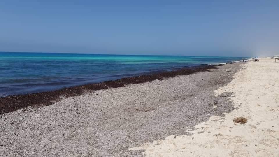 البوسيدونيا نباتات سوداء غريبة تظهر على شاطئ البحر المتوسط في مصر و تثير الذعر
