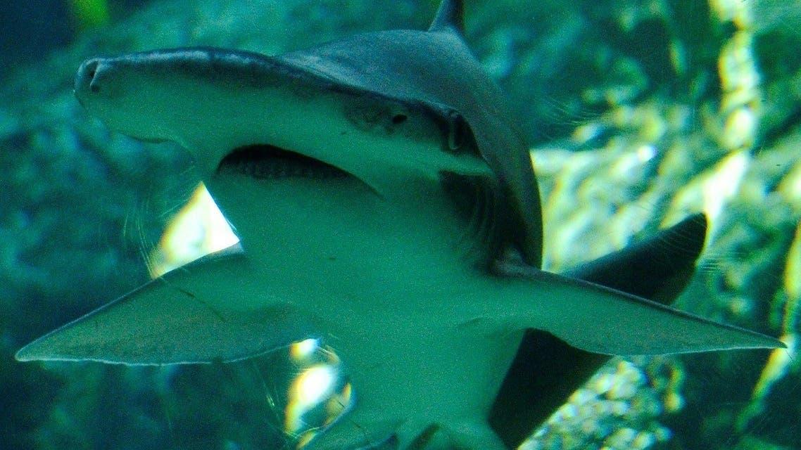 In this file photo taken on April 26, 2012 a Bonnethead shark swims at the Aquarium of the Pacific in Long Beach, California. (Joe Klamar/AFP)