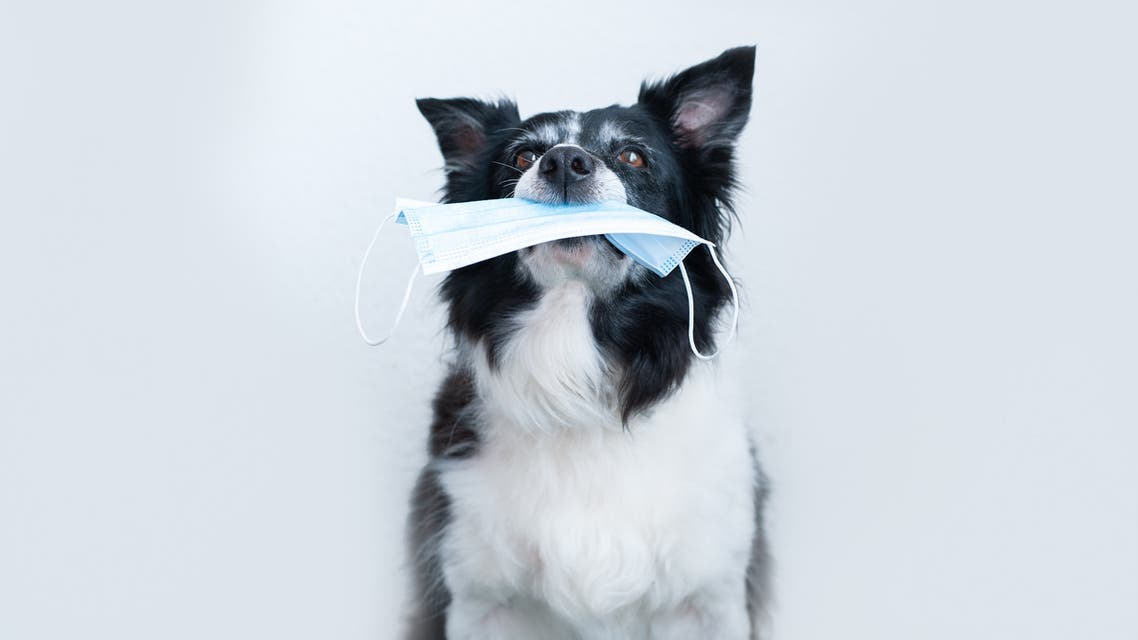 Dog holding in a mouth a surgical mask stock photo