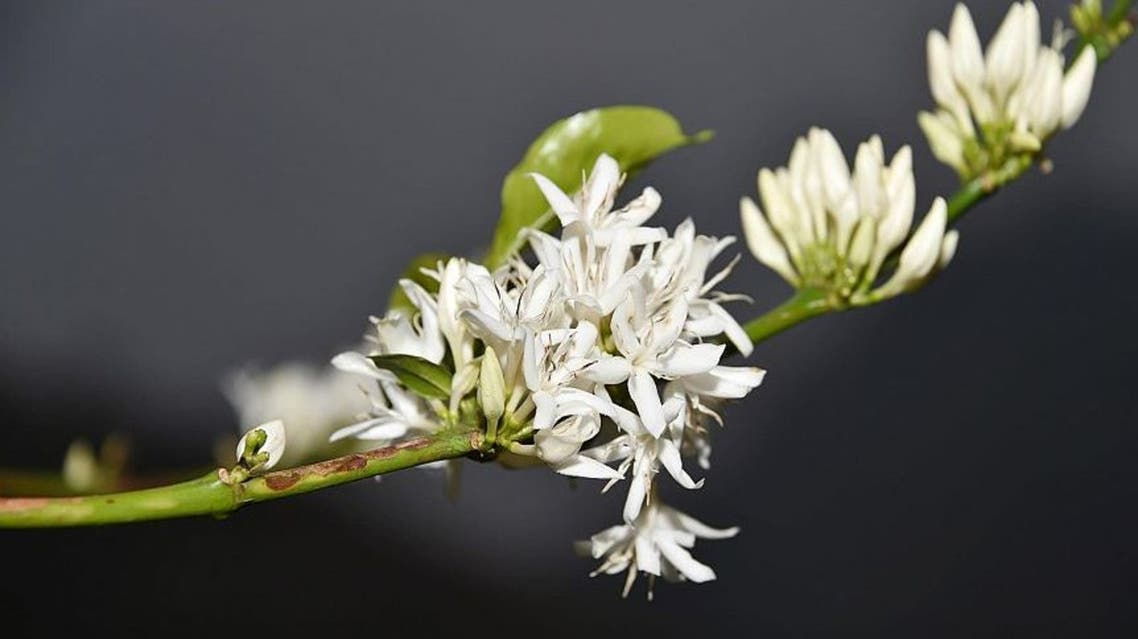 زهور البن لوحات جمالية