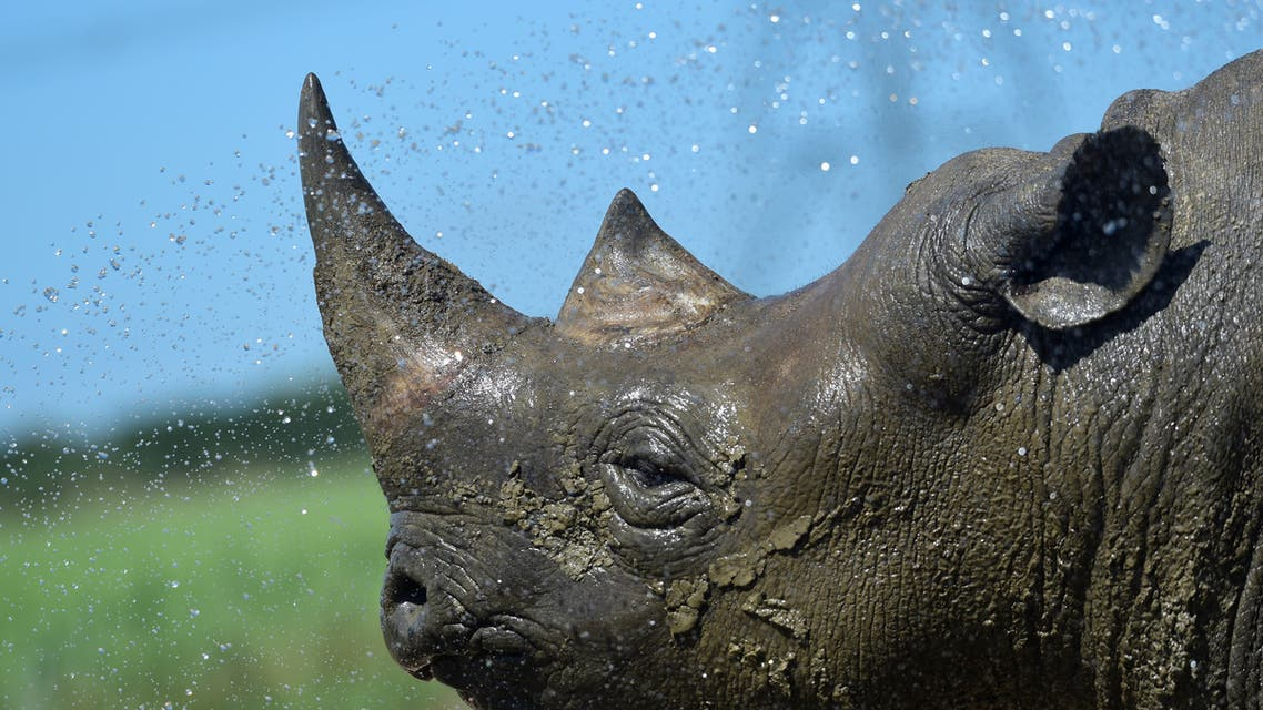 Nkosi, a critically endangered Eastern Black Rhino is hosed down by its keeper at Folly Farm and Zoo, Begelly, Pembrokeshire, Wales, Britain. July 25, 2019. (Reuters)
