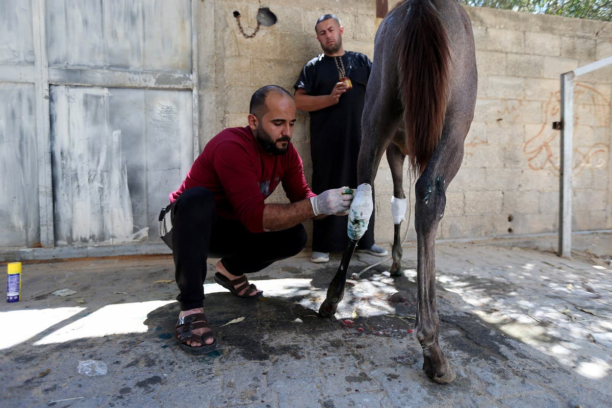 A man treats Palestinian Omar Shahin's horse, which was wounded during the Israeli-Palestinian fighting, in the northern Gaza Strip May 24, 2021. (Reuters/Ibraheem Abu Mustafa)