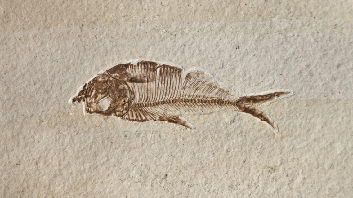 أحفورة سمك (تعبيرية - آيستوك)