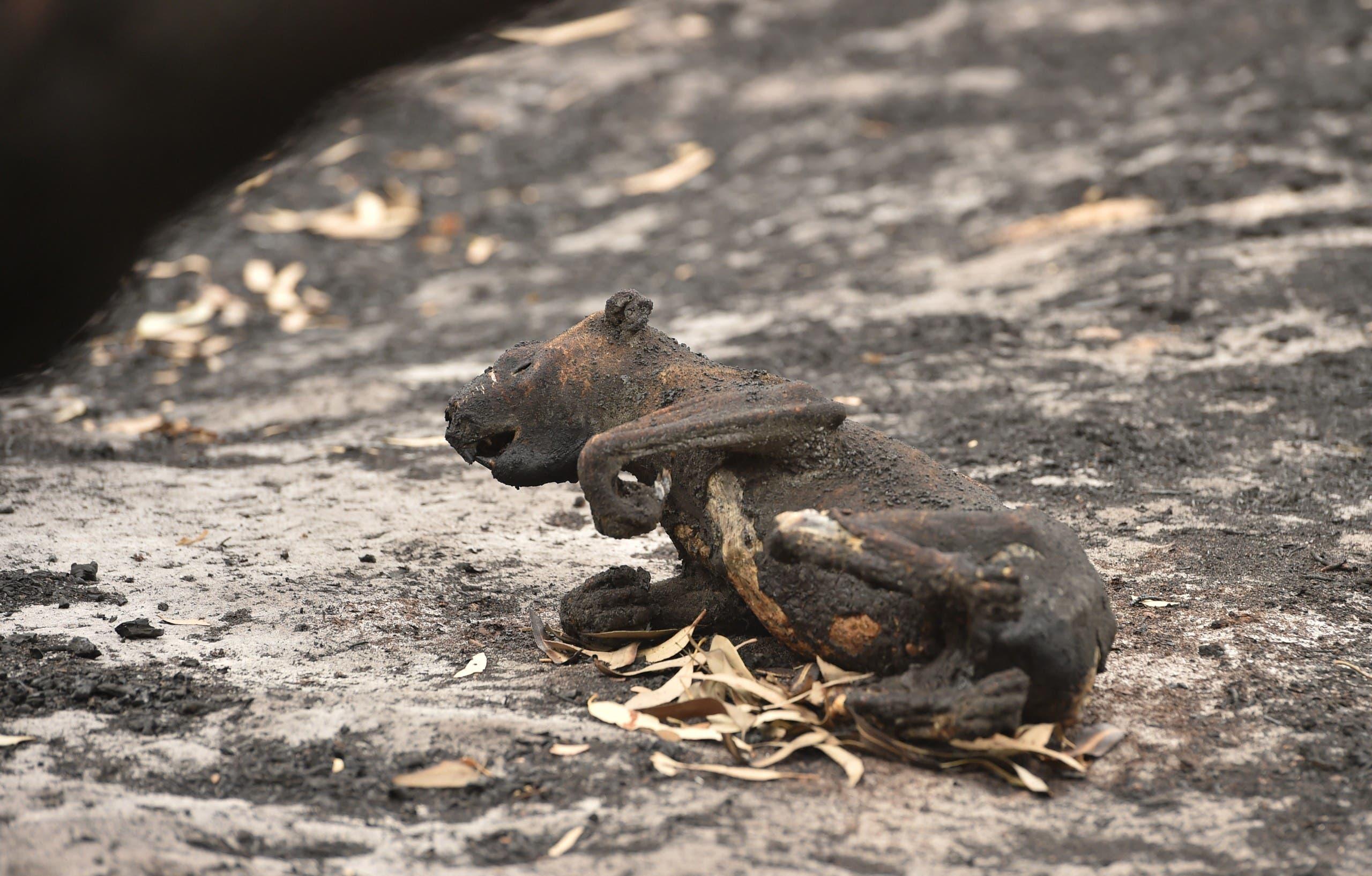 كوالا ميت بسبب الحرائق في أستراليا في يناير 2020