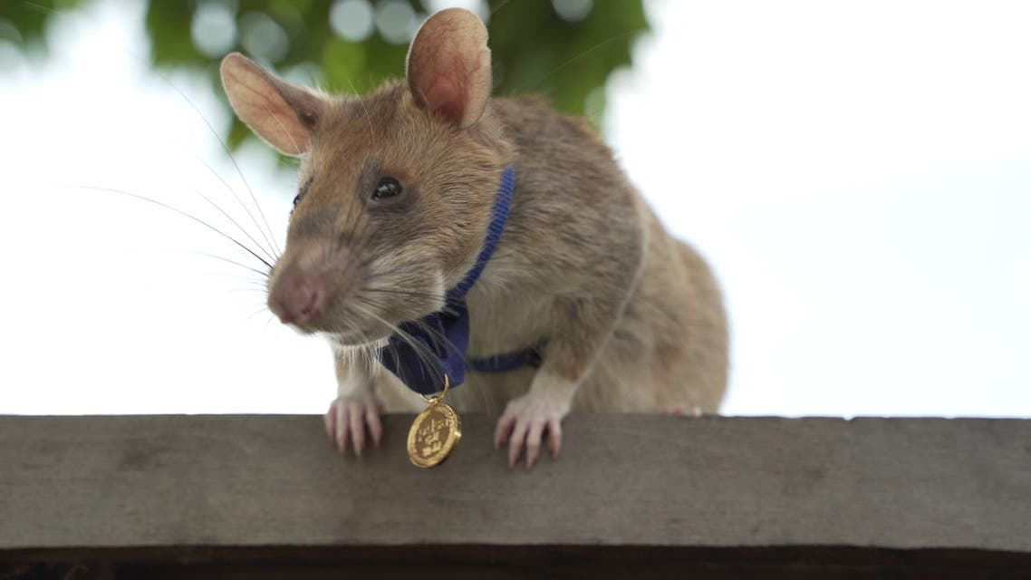 An undated handout picture released by UK veterinary charity PDSA on September 25, 2020 shows Magawa, an African giant pouched rat wearing his gold medal received from PDSA for his work in detecting landmines in Siem Reap, Cambodia. (AFP)