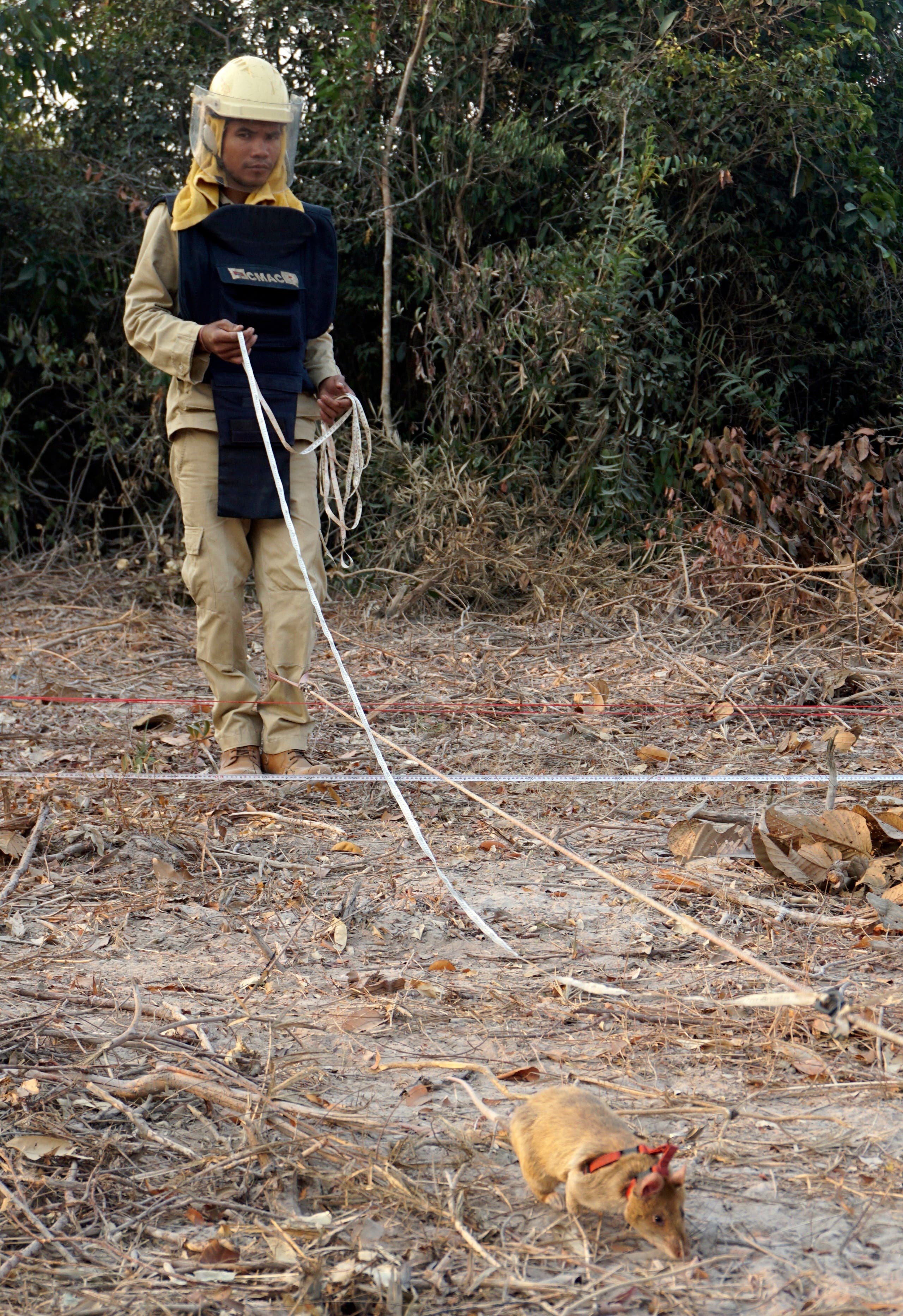 In this Feb. 19, 2016, photo, handler Ok Chann guides mine-sniffing African rat Cletus across a suspected mine field in Trach, Cambodia. (AP)