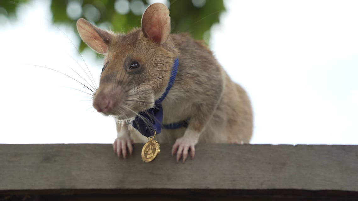 (FILES) This file undated handout photo released by UK veterinary charity PDSA on September 25, 2020 shows Magawa, an African giant pouched rat, wearing his gold medal received from PDSA for his work in detecting landmines, in Siem Reap. A giant African pouched rat called Magawa who spent years detecting landmines in the Cambodian countryside has stopped working and will enjoy a well-earned retirement eating bananas and peanuts, his employers told AFP on June 5, 2021.