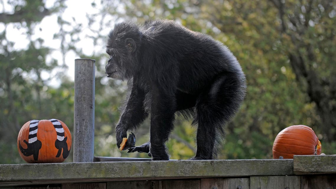 FILE - In this Oct. 21, 2009, file photo, Cobby, a male chimpanzee, plays with pumpkins during the San Francisco Zoo's 'Boo at the Zoo' Halloween celebration in San Francisco. Cobby, the oldest male chimpanzee living in an accredited North American zoo died Saturday, June 5, 2021, at the San Francisco Zoo & Gardens. He was 63. Cobby, had been a hand-reared performing chimpanzee before he was brought to the San Francisco zoo in the 1960s. (File photo: AP)