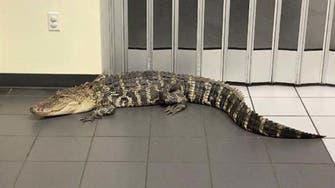 Two-meter alligator interrupts work at Florida post office