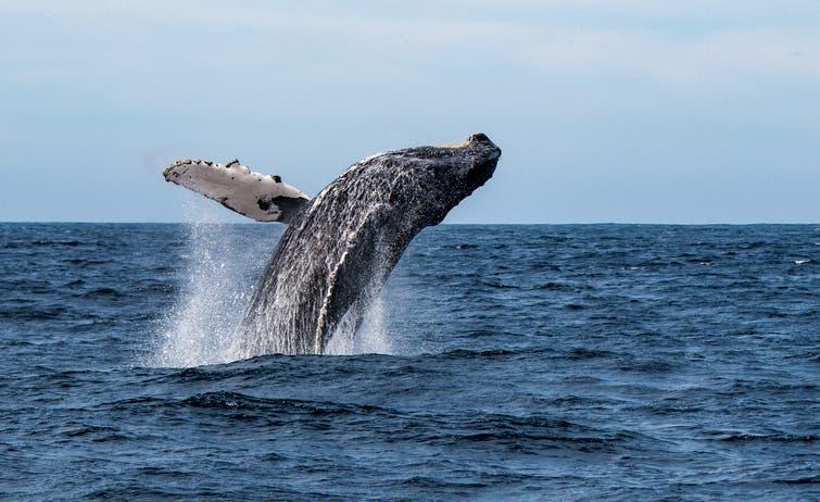 الحوت الأحدب (آيستوك)