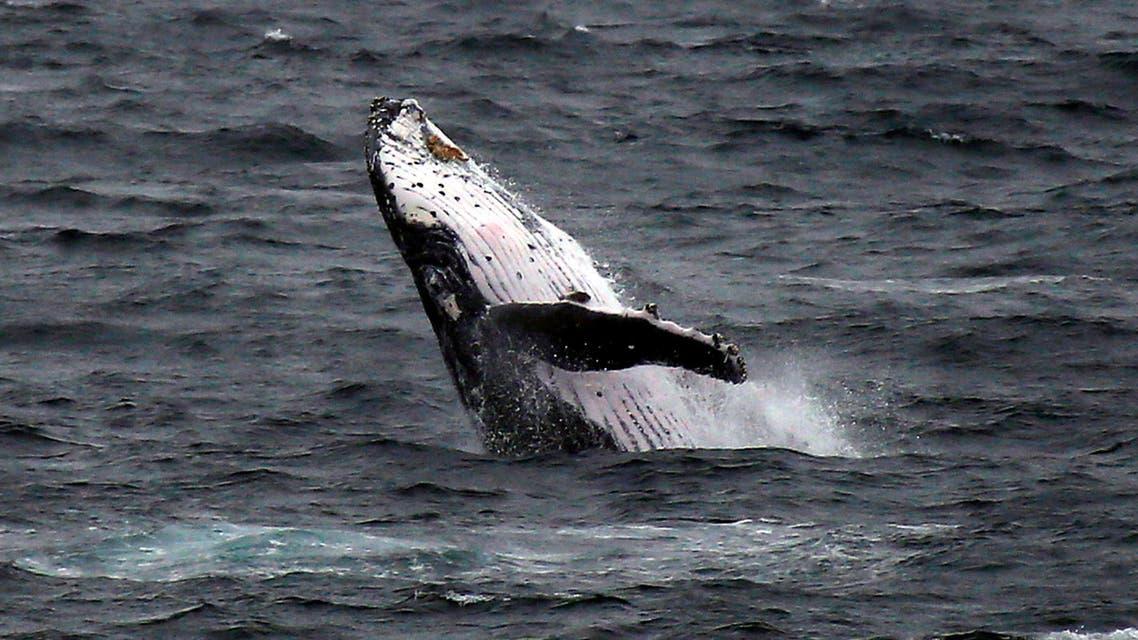 الحوت الأحدب (أرشيفية - رويترز)