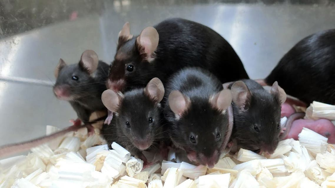 This September 11, 2020, image courtesy of Teruhiko Wakayama, University of Yamanashi, shows healthy offspring and next generation of mice derived from space preserved spermatozoa. (AFP)
