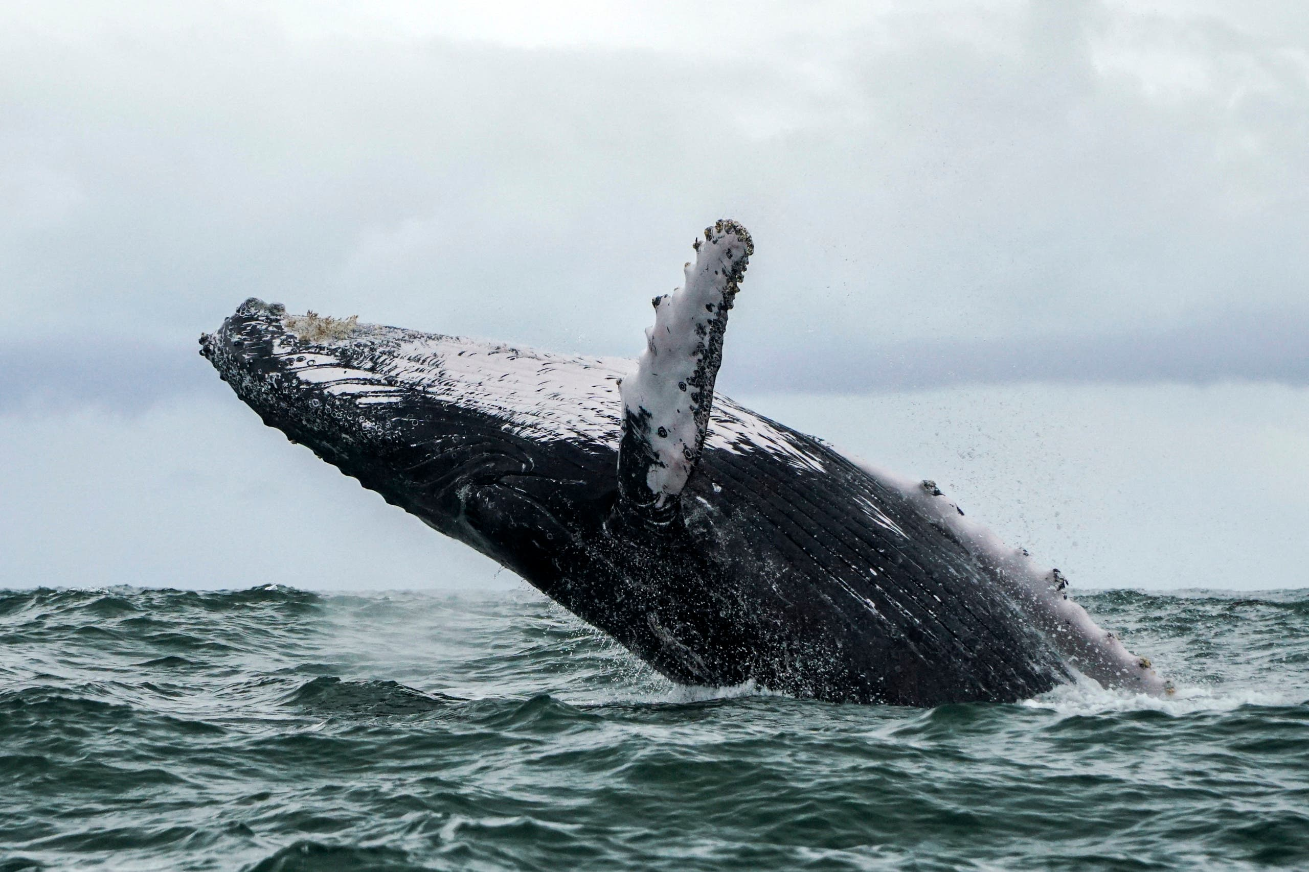 In this file photo taken on August 12, 2018 a Humpback whale jumps in the surface of the Pacific Ocean at the Uramba Bahia Malaga National Natural Park in Colombia. (AFP)