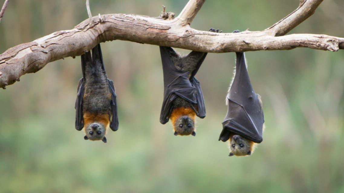خفافيش (تعبيرية - آيستوك)