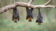 """خبر مرعب.. """"كورونا"""" جديدة في الخفافيش قد تصيب البشر"""