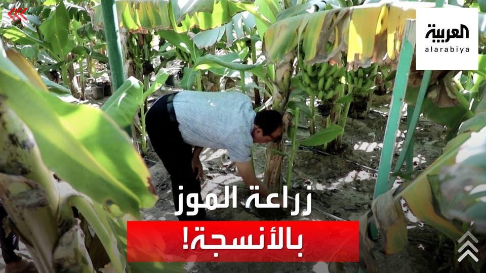 باستخدام الزارعة النسيجية.. نجاح أول محاولة لإنتاج الموز في البصرة