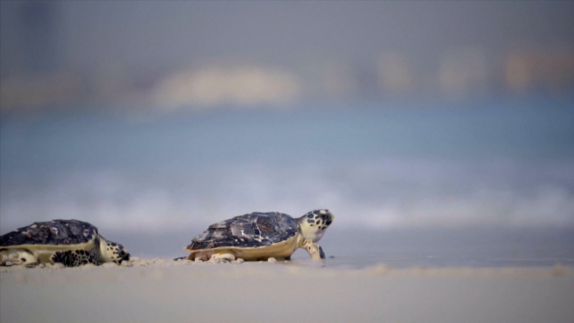 The Dubai Turtle Rehabilitation Project was launched in 2004 at Burj al-Arab and aims to care, protect and rehabilitate sick and injured turtles. (Screengrab)