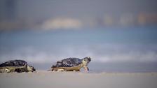 Experts help injured sea turtles back into Dubai sea