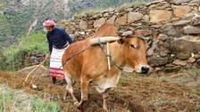 سعودی عرب کے پہاڑی علاقے میں بیل کے ذریعے کھیتی باڑی کا روایتی طریقہ آج بھی مقبول