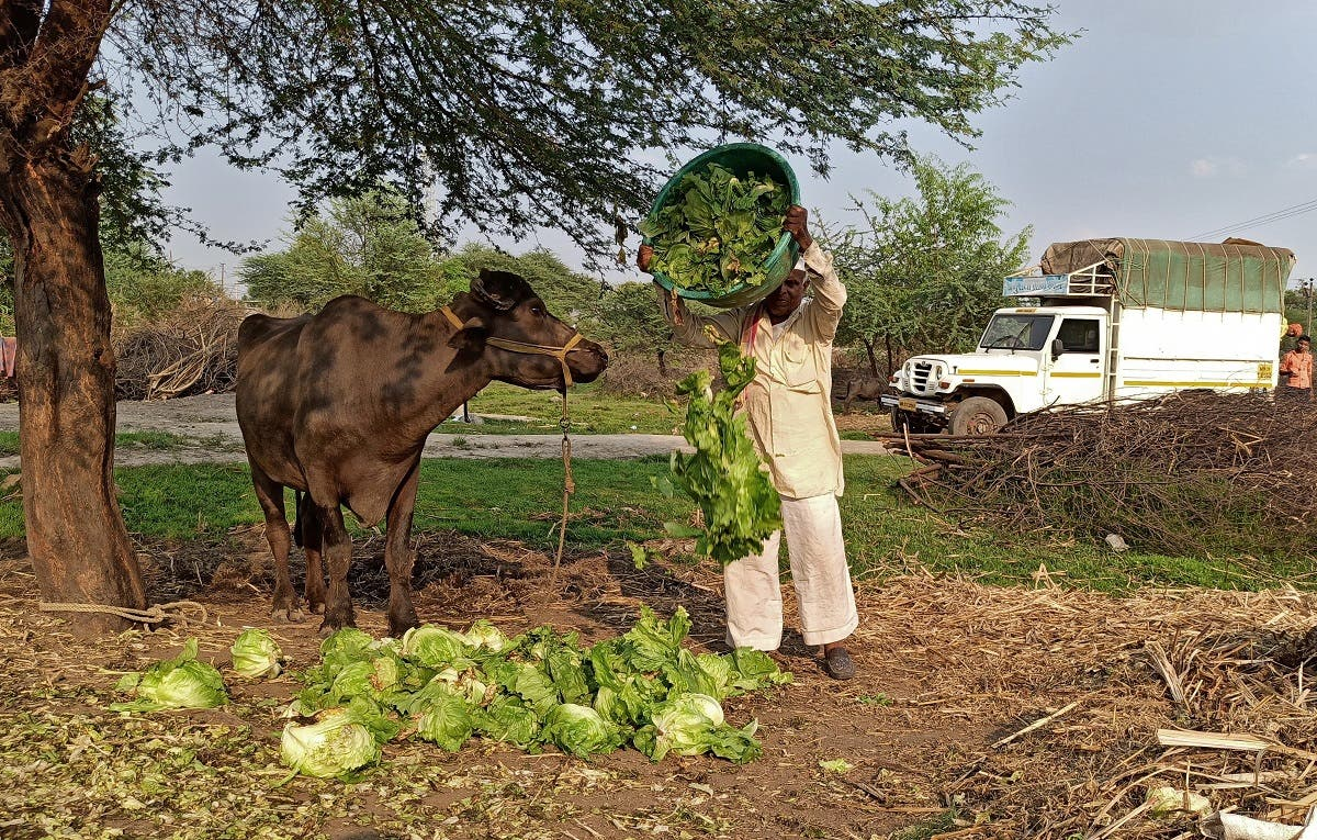 A farmer feeds iceberg lettuce to his buffalo during a 21-day nationwide lockdown to slow the spreading of coronavirus, at Bhuinj village in Satara district in the western state of Maharashtra, India. (File photo: Reuters)