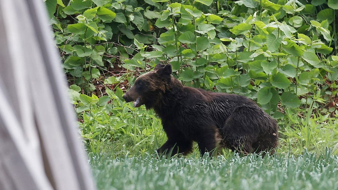 This picture shows a brown bear that is on the loose in Sapporo, Hokkaido prefecture on June 18, 2021. A brown bear was on the loose in the northern Japanese city of Sapporo, with the government warning residents to stay home after the animal injured four people including a soldier. (File photo: AFP)