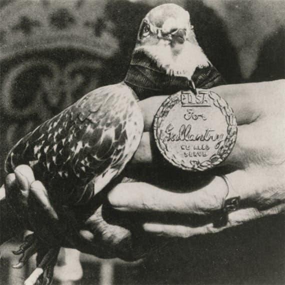 صورة للحمامة جي آي جو عند حصولها على الميدالية