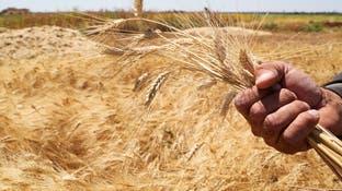 """سوريا.. """"عم القمح"""" في خطر بسبب الجفاف"""