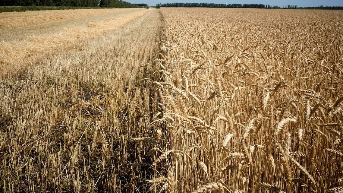 A wheat field is pictured outside the village of Karpenkovo, some 150 km from city of Voronezh, on July 12, 2020. (Kirill Kudryavtsev/AFP)