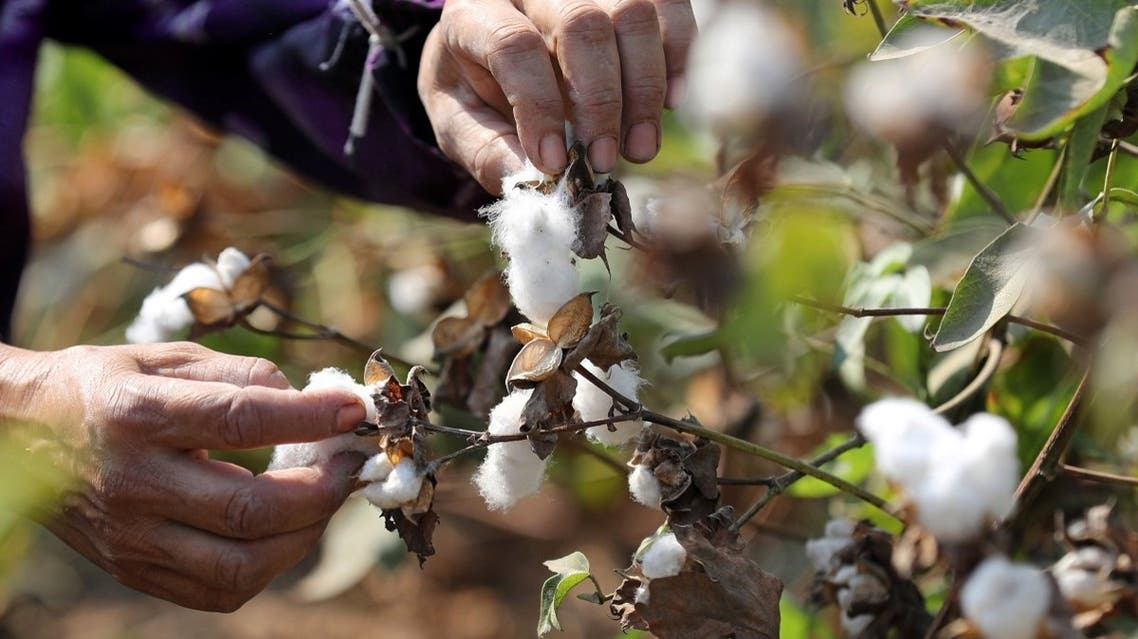 A farmer harvests cotton in a field in Qaha, Al-Qalyubia Governorate, northeast of Cairo, Egypt September 28, 2018. (Reuters/Mohamed Abd El Ghany)
