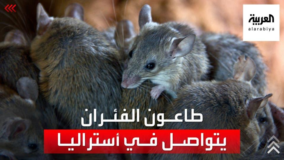 غزو الفئران لا يزال مستمرا في أستراليا ويتسبب بإخلاء أحد السجون