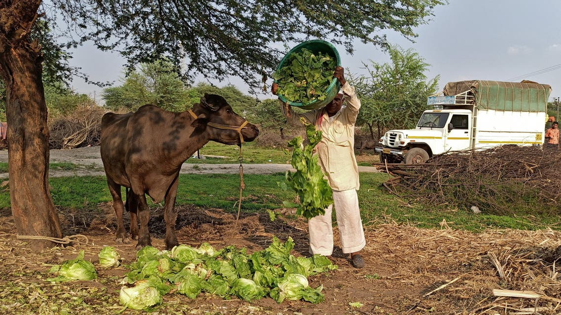 A farmer feeds iceberg lettuce to his buffalo during a 21-day nationwide lockdown to slow the spreading of coronavirus disease (COVID-19), at Bhuinj village in Satara district in the western state of Maharashtra, India, April 1, 2020. Picture taken April 1, 2020. (File Photo: Reuters)