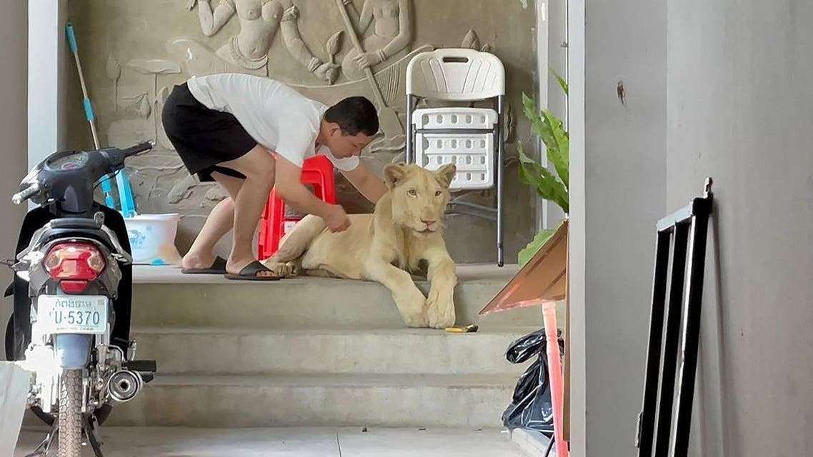 This photo released on June 27, 2021 shows a male lion as it is being confiscated by authorities from a private residence where it was being raised as a pet in Phnom Penh. (Handout/Cambodia's Ministry of Environment/AFP)
